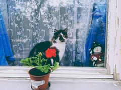 cat in the window (fanniszaszkó) Tags: cat kitty cica macska window ablak hungary magyar magyarország spring tavasz april április 2017 flower virág cute sweety cuki samsung samsungs7 samsungs7edge s7 s7edge mobilphotography lazyday lazycat home animal pet petphoto mobilphoto