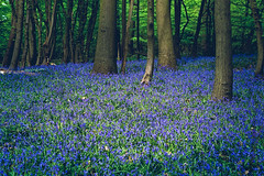 A bed of Bluebells in Essex (The Ultimate Photographer) Tags: bluebells flowers blue forest woodland tree wood landscape essex littlebaddow chelmsford walking trek canon canon7dmarkii greenandblue