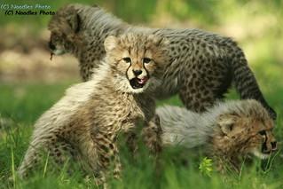 Cheetah cubs - Gepardenbabys