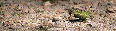 Sand Lizard (Lacerta agilis) 2 (BenjaminMichaelMarshall) Tags: herpetofauna dorset wildlife benmarshall animal lizard reptile sand