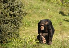 Chimpansee (ToJoLa) Tags: canon canoneos60d 2017 safaripark beeksebergen voorjaar spring lente animals dieren dierentuin noordbrabant zoo