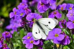 Female Small White on Aubrieta