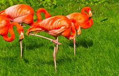 ... pretty Flamingo (schreibtnix on'n off) Tags: tiere animals vögel birds flamingo köln cologne kölnerzoo colognezoo nahaufnahme closeup prettyflamingo olympuse5 schreibtnix
