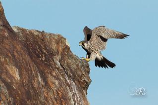 Faucon pèlerin - Falco peregrinus (Cap Béar, Pyrenées Orientales 66) 11 mars 2017-2