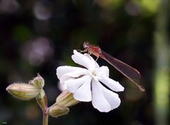 Caballito III (candi...) Tags: caballitodeldiablo flor macro macrofotografia insecto invertebrado profundidaddecampo naturaleza nature sonya77 airelibre
