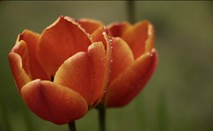 Dew drops on Tulips (helliemelhuish) Tags: tulips orange droplets macro nature fantasticflower