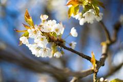 Finally spring! (xkolba) Tags: cherry blossom spring outdoor garden plant bokeh nature depthoffield canoneos5dmkii podlasie