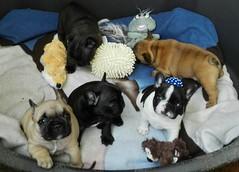 13963064_941138716032631_4721731034206695347_o (Anastasia Neto) Tags: dog dogphotography dogs dogmodel dogphotographer puppies puppy petmodel petphotography pet pets petphotographer funnydog frenchie frenchies frenchbulldog frenchbulldogs funnydogs cutepuppies bulldog bulldogs