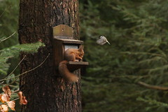 Red Squirrel (sam_breed) Tags: all red squirrel rare wildlife nature hide photograph photography time love natural bird birdlife wild