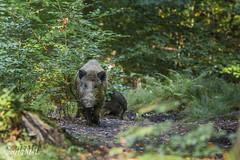 _MG_1923.jpg (Mich_Lu) Tags: wildschwein säugetier tier