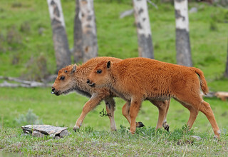 THINK SPRING - Baby Bison (Red Dogs) - 7602b+