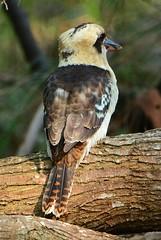 Laughing Kookaburra (~Jek~) Tags: aus australia eurobodalla geo:lat=3630444785 geo:lon=15012523413 geotagged mysterybay newsouthwales bird dacelonovaeguineae laughingkookaburra kookaburra