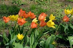 Tulpen im Wind - windy Day (Sockenhummel) Tags: tulpen tulips wind gelb orange bundesplatz schief schräg tulipane fuji x30 fujifilm finepix spring frühling blüten blumen