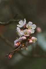 Apricot Blossoms (Inka56) Tags: hbw 7dwf closeup apricot bokeh