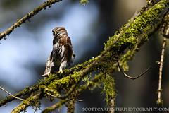 Northern Pygmy-Owl (Scott Carpenter Photography) Tags: familystrigidae glaucidiumgnoma orderstrigiformes forest owl owls pacificnorthwest predator small strigidae tiny