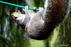 The Acrobat (Anne Ahearne) Tags: easterngraysquirrel gray grey squirrel animal wildlife nature