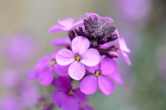 Soft (Nige H (Thanks for 10m views)) Tags: nature flower macro detail bokeh soft softpink bud platinumheartaward