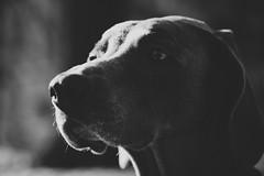 undercover (VanaTulsi) Tags: vanatulsi weim weimaraner dog blueweim blueweimaraner