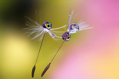 Flying with you (Marilena Fattore) Tags: macro tarassaco dandelion canon tamron colors water drops creativity nature closeup focus floralart reflection bokeh droplet light pastel delicate flowers yellow pink purple flores daisy garden softflowers macrophotography onlyflowers