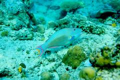 Parrot fish (Landersz) Tags: philippines filippine coron palawan club paradise snorkeling turtle shark clownfish nemo dugong landersz canon 5dmk3 nimar gopro hero5