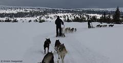 Let's go! (K. Haagestad) Tags: dogs huskeys dogsledding sjusjøen norway sleds mountains winter snow trees