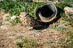 Burrowing Owl (RiverBum - MN) Tags: estrella whitetank grandcanyon phoenix springbreak arizona