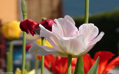 Tulipánok a kertben (Van'elise) Tags: tulipánok tulipán kertben rózsaszín tavaszi virágok virág