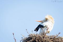 Stork (Cloudtail the Snow Leopard) Tags: storch weisstorch white stork adebar vogel bird animal tier ciconia zoo heidelberg