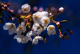 Cherry Blossoms (Somei-Yoshino) in Yanaka Cemetery Garden : ソメイヨシノ(谷中霊園)