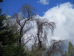 IMG_0416 (cristinamonicamoldoveanu) Tags: vegetation springtime tree copac