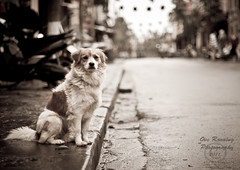 King of the street_cr (overonning) Tags: dog animal street vietnam pose