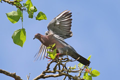 Plain Pigeon - Patagioenas inornata wetmorei (Roger Wasley) Tags: plain pigeon patagioenas inornata wetmorei comeri puerto rico rare endemic bird threatened species west indies caribbean greater antilles