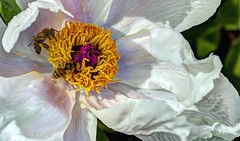 peony and bees (JoelDeluxe) Tags: albuquerque biopark botanical garden nm newmexico joeldeluxe