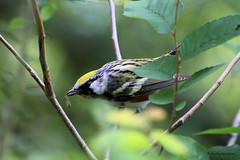 9089 Chestnut-sided Warbler (Parula superciliosa) (andykjordan) Tags: chestnutsidedwarbler parulasuperciliosa smith oaks audubon high island bird texas