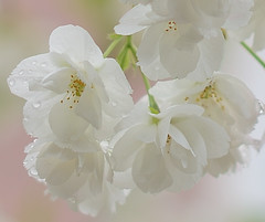 White Cherry Blossom after the rain (Alona Azaria) Tags: flower white cherry blossom drops rain spring bokeh soft pastel fiore fiori bloem bloemen flores