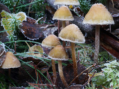 Toadstools, The Hermitage, Dunkeld (Niall Corbet) Tags: scotland perthshire dunkeld hermitage nationaltrust nts winter toadstool frost