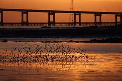 Turbulent Flock (John Loo) Tags: san mateo bridge seal point park francisco bay sunrise bird low tide mud flats