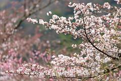Sakura blossoms (Teruhide Tomori) Tags: sakura cherry tree flower spring kyoto japan japon arashiyama garden blossom bloom tenryujitemple 嵐山 天龍寺 京都 春 庭園 桜 日本 嵯峨野