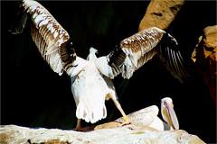pelican...........showing the wings (atsjebosma) Tags: pelican pelicaan bird vogel wings vleugels wijd groot big atsjebosma oceanografic valencia spain spanje calatrava architecture 2017 ngc