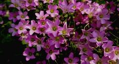 春天綻放 Spring bloom (rightway20150101) Tags: flowers taichung taiwan pink