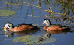 African Pygmy Geese - Male and Female Together (Barbara Evans 7) Tags: african pygmy geese male and female awash national park ethiopia barbara evans7