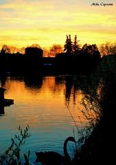 Naturalmente...il cigno e il tramonto. (michelecipriotti) Tags: bologna emiliaromagna parcodeigiardini giardini lago cigno tramonto sole alberi natura cielo colori sunset città paesaggio