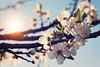 Spring (Sareni) Tags: sareni serbia srbija vojvodina banat juznibanat alibunar blossem blossems cvet grana branche sky nebo light svetlost colors boje sun sunce spring prolece march 2017 twop