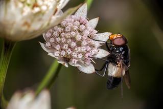 Large Fly / Small Bug - _TNY_9767