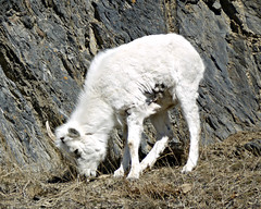 Juvenile Dalls Sheep (J.P. EVERETT) Tags: ovis dalli dall dalls sheep turnagain arm alaska ak ledge cliff