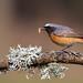 Redstart (cogs2011) Tags: bird lunch grub stonechat