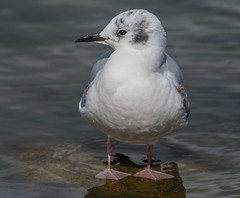 Bonaparte's Gull (Chroicocephalus philadelphia) (fugle) Tags: bonapartesgull gull virginialake nevada reno washoeco