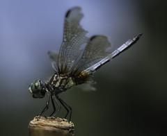 DragonFly_SAF4414 (sara97) Tags: copyright©2016saraannefinke dragonfly flyinginsect insect missouri mosquitohawk nature outdoors photobysaraannefinke predator saintlouis towergrovepark urbanpark wingedinsect
