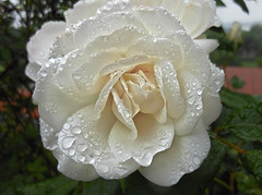 ▲ ✪►•after the rain•◄✪▲ (MissAna(Thank you kindly for over 188K View's!)) Tags: flower rose rain platinumheartaward