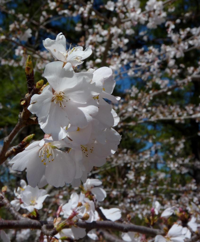 New jersey ocean county beachwood - Cherry Blossoms Dendroica Cerulea Tags Cherry Prunus Rosaceae Rosales Flower Tree Jakesbranchcountypark Pinebarrens